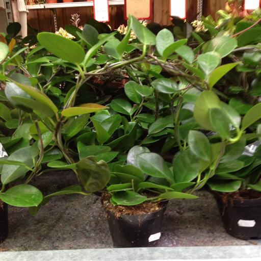 Porslinsblomma- Hoya australis