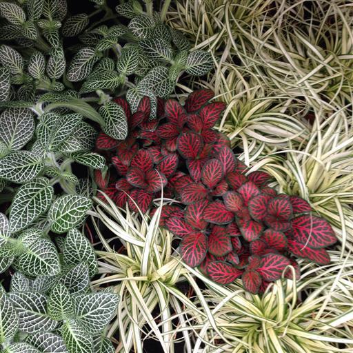 Miniväxter- flera olika sorter!