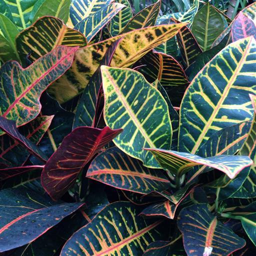 Kroton- Codiaeum variegatum