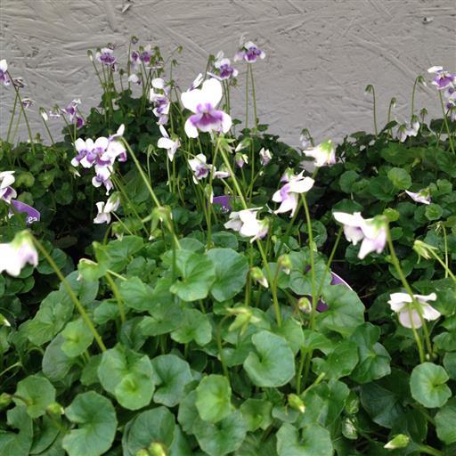 Murgrönsviol- Viola hederacea