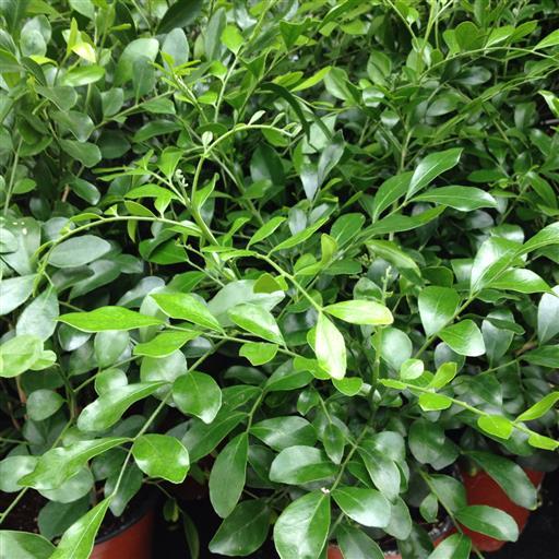 Doftruta- Murraya paniculata