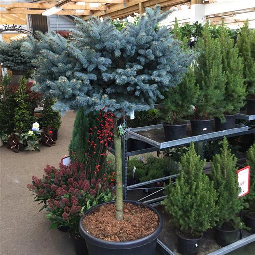 Dvärgblågran- Picea 'Glauca Globosa'