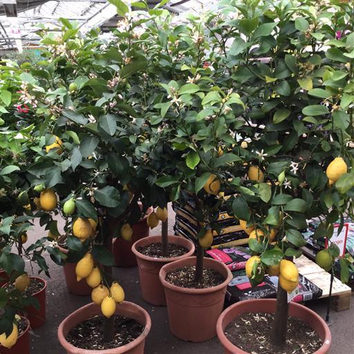 Citron- stora exemplar!